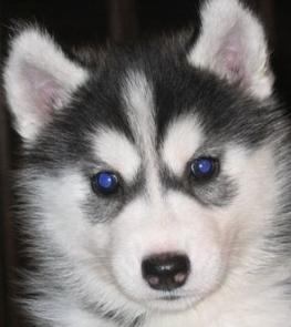miniature huskies mini siberian