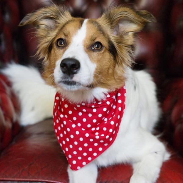 Red Spotty Hanky Dog Bandanas