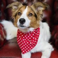 Red Spotty Hanky Dog Bandanas | Red Spotted Dog Bandanas