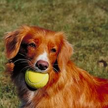 A Nova Scotia Duck Tolling Retriever
