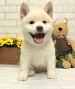 Cream White Shiba Inu - Brody
