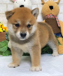Red Shiba Inu - Griffin