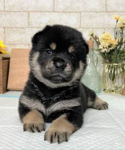 Black and Tan Mame Shiba Inu - Ana