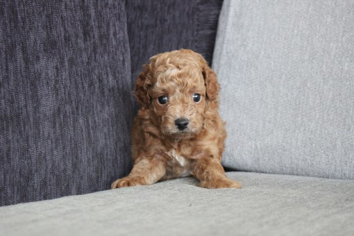 Red Toy Poodle Mason