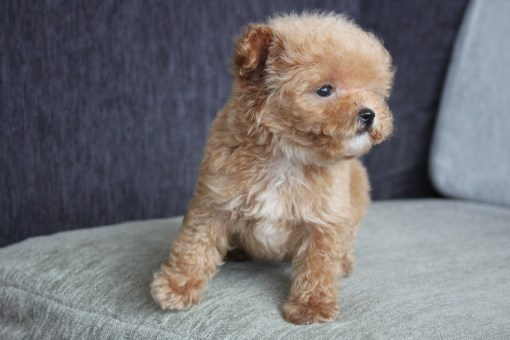 Cream Toy Poodle Boris