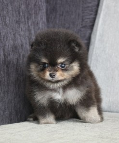 Black Teacup Pomeranian Betty
