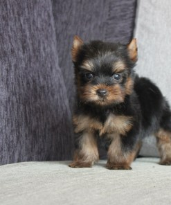 Teacup Yorkshire Terrier Jeffrey