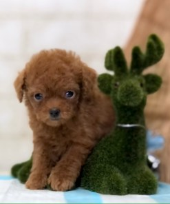 Red Teacup Poodle - Maryann