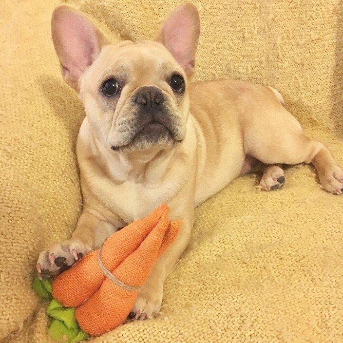 dog eats carrots