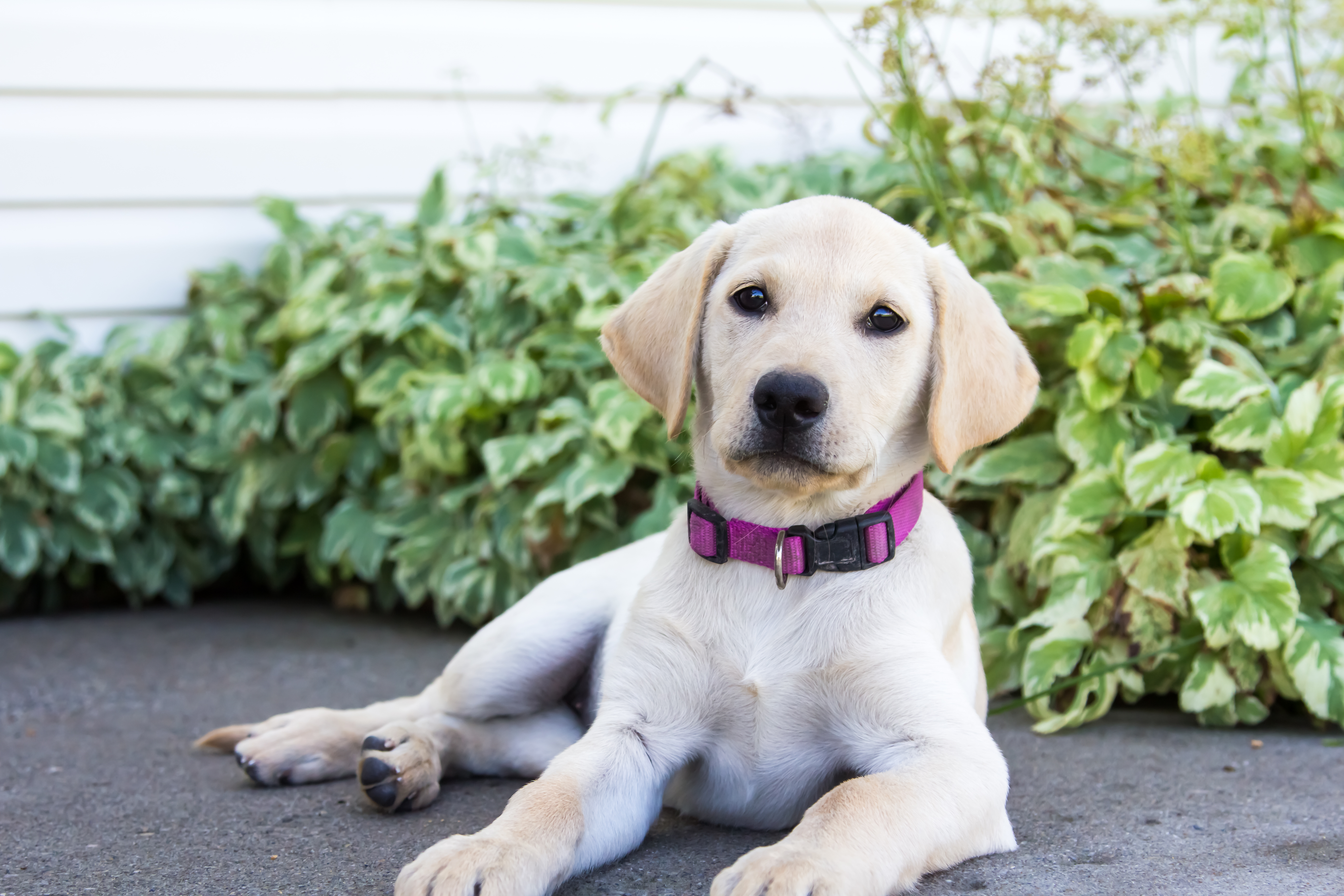 female yellow lab puppy