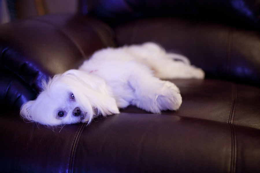 Charlie the Maltese lazing on the couch.