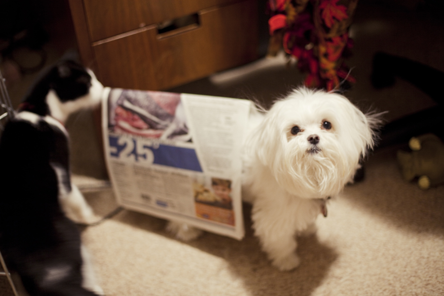 Newspaper roof on Charlie the Maltese.