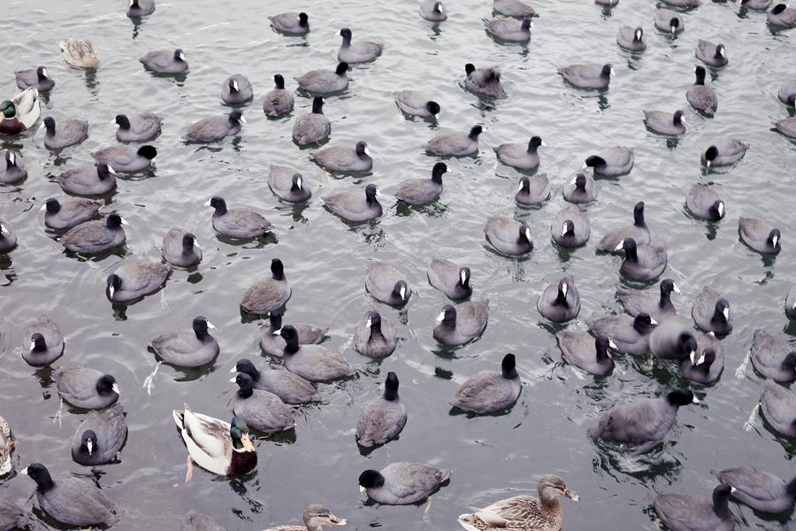 Ducks by the shore of Lake Arrowhead.
