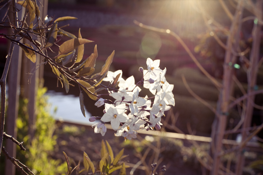 Little white flowers basking in the sunset glow at the Getty Center, Los Angeles.