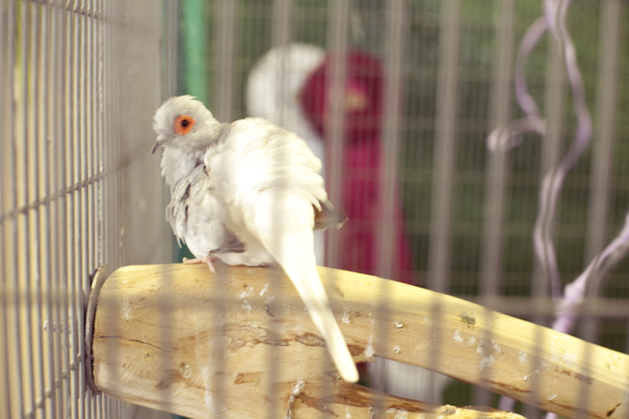 Zebra Finch at the Orange County Fair.