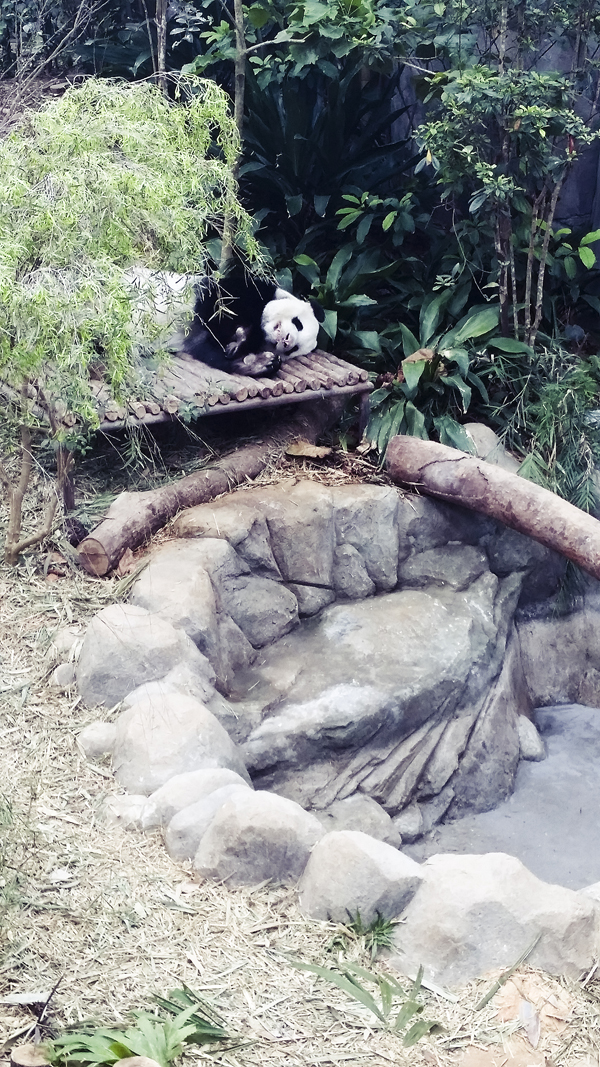 Sleeping panda at the River Safari.