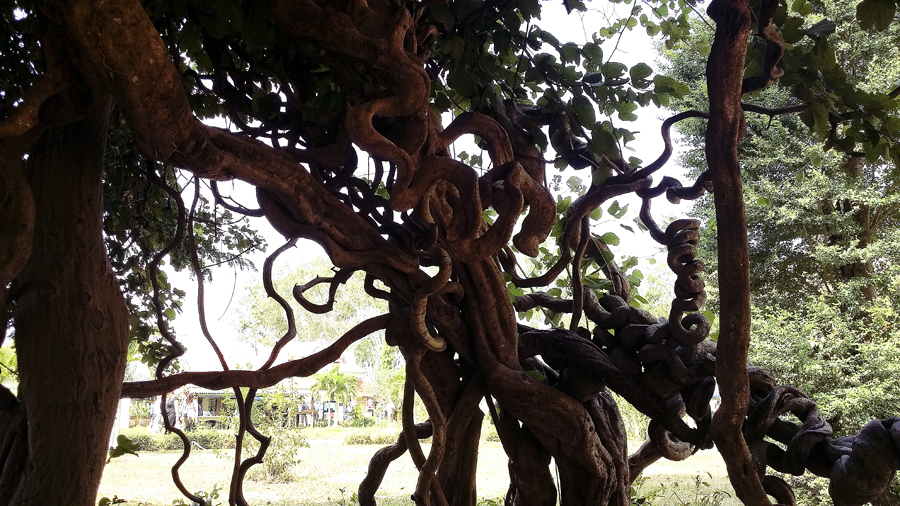 Knotted tree branches at the Choeung Ek Killing Fields in Phnom Penh, Cambodia.