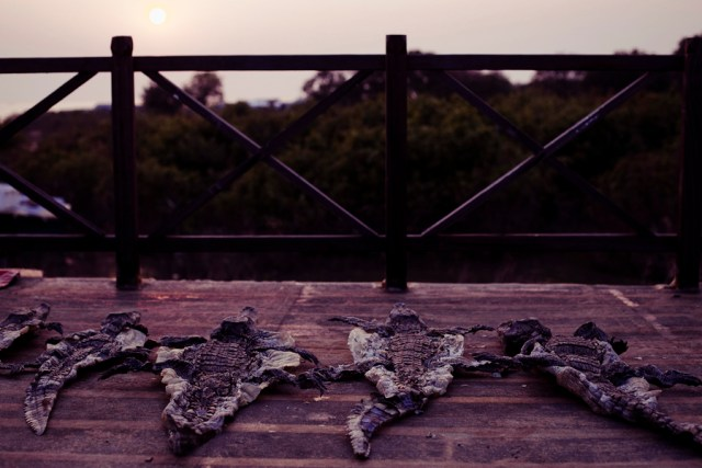 Crocodile hides tanning at sunset at Chong Kneas Floating Village in Siem Reap, Cambodia.
