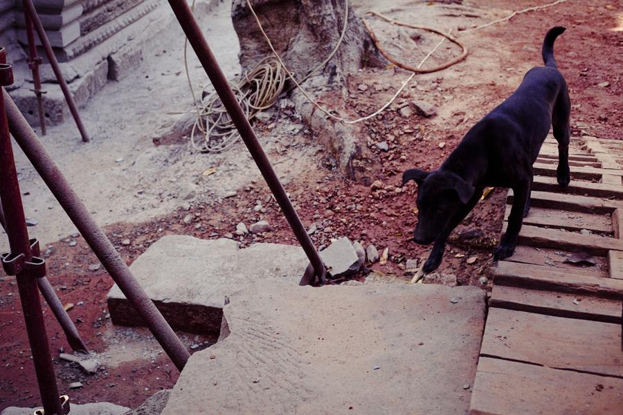 Black dog at Ta Prohm, Cambodia.