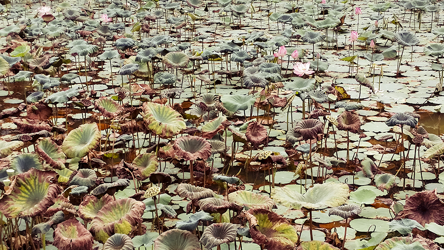 Pond filled with lotus flowers at the park.