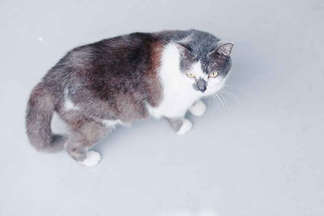 Ugly grey and white cat.