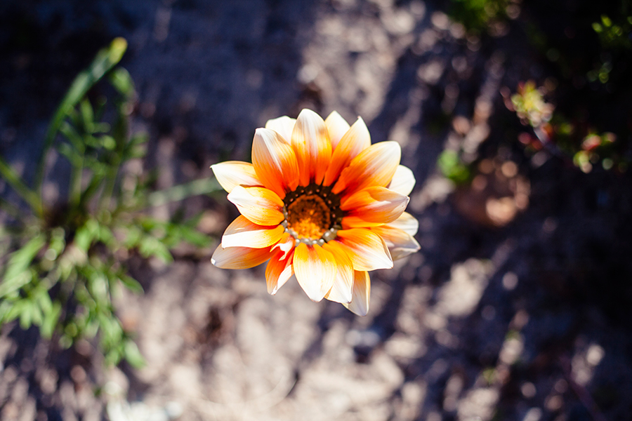 Unidentified orange ombre flower at the Silvermine Wetland Conservation Area, Fish Hoek, Cape Town, South Africa.