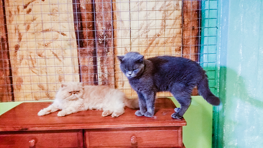 Rescue pedigree cats at Cats' Safari Singapore pet therapy.