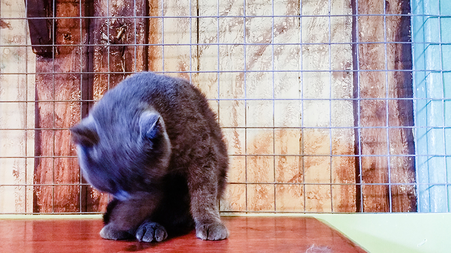 Grey ball of fur at Cats' Safari Singapore pet therapy.