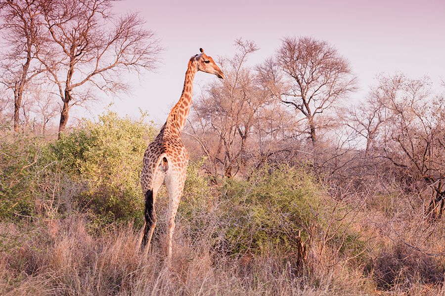 Giraffe at Kruger National Park, South Africa.