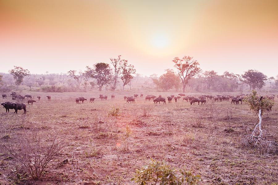 Herd of buffalo against the setting sun at Kruger National Park, South Africa.