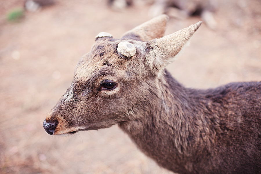 Deer with shorn horns at Nara Park, Japan.