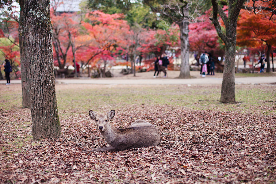 Deer sitting among fallen autumn leaves at Nara Park, Japan.