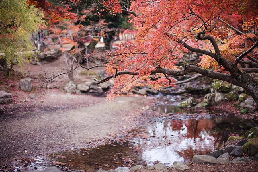 Maple trees hanging low at Nara Park, Japan.