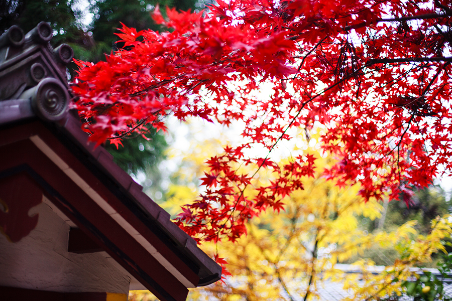 Blood-red maple leaves on a tree at Nara Park, Japan.