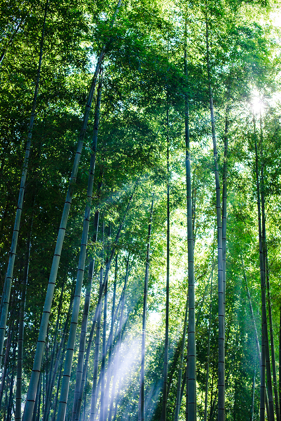 Sunlight filtering in the bamboo forest at Fushimi Inari in Kyoto, Japan.