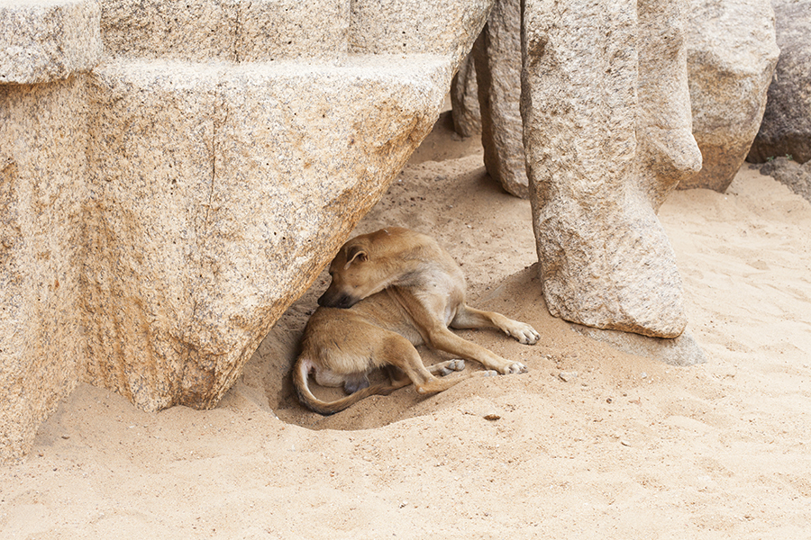 Stray dog at 5 Rathas, Mahabalipuram Chennai India.