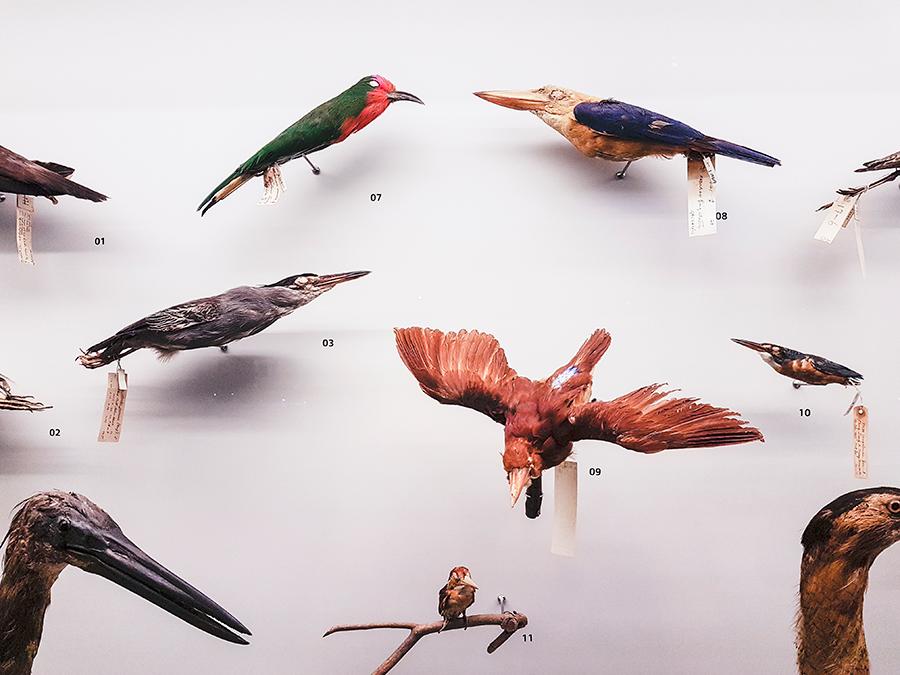 Taxidermy birds at Lee Kong Chian Natural History Museum.