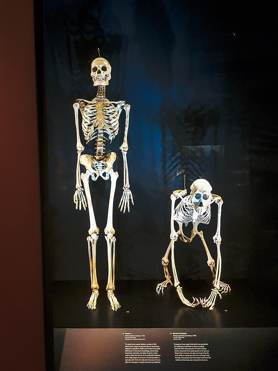 Human and Bornean Orangutan skeletons Lee Kong Chian Natural History Museum.