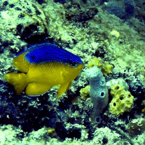 Young Damselfish