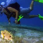 striped burrfish and diver