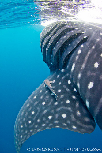 Whale shark identification