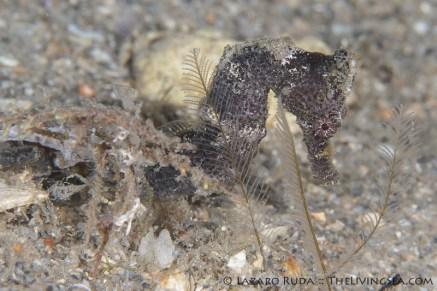 A juvenile longsnout seahorse hides in the sandy plains of the Blue Heron bridge.