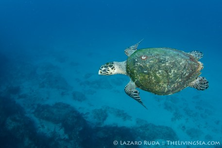 Even a hawksbill sea turtle is enjoying this gorgeous blue landscape.