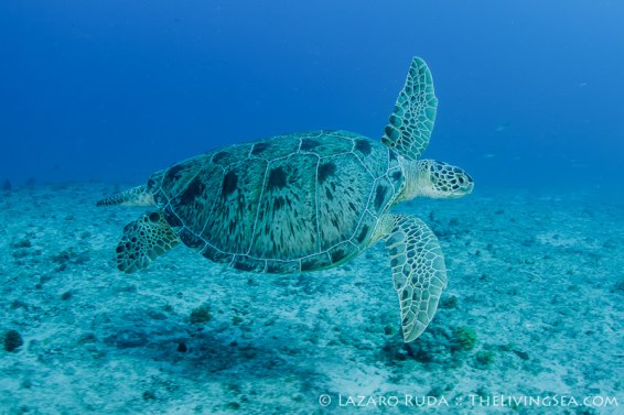 Large male green sea turtle