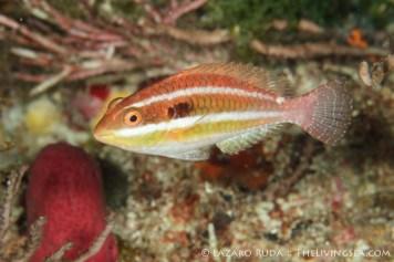 Juvenile redband parrotfish: Sparisoma aurofrenatum