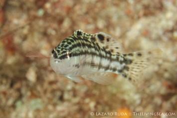 harlequin bass: Serranus tigrinus