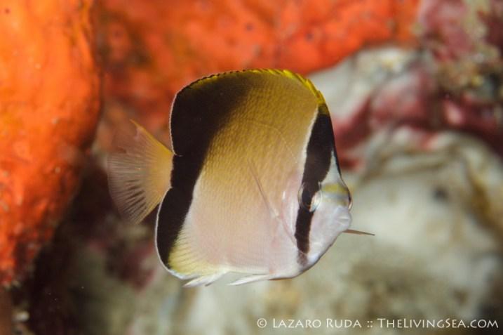 Juvenile reef butterflyfish: Chaetodon sedentarius