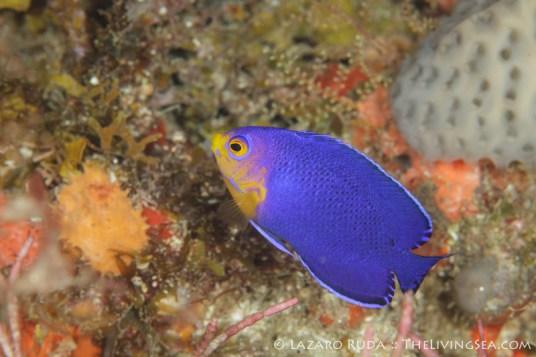 cherubfish: Centropyge argi