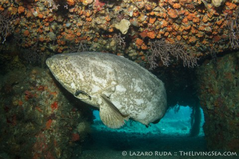 Goliath grouper hiding in the Spud Barge