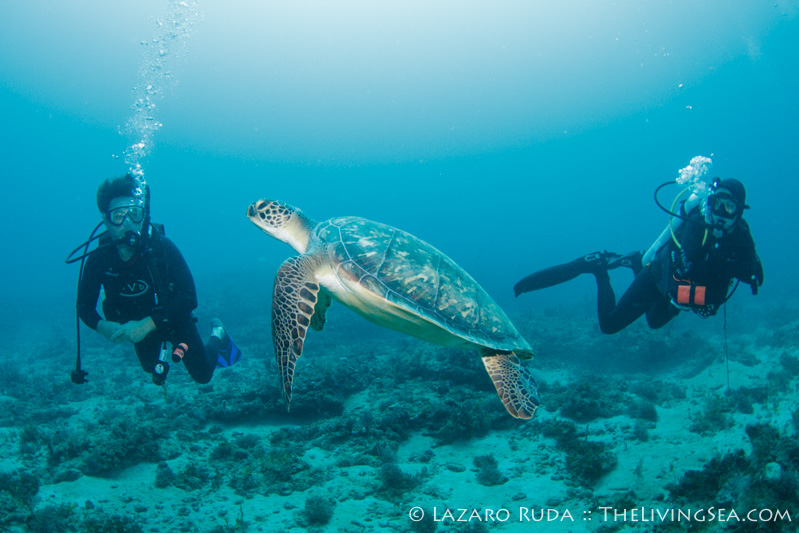 Green sea turtle observing the divers